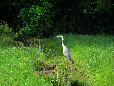 Heron, Environment, Water, Nature