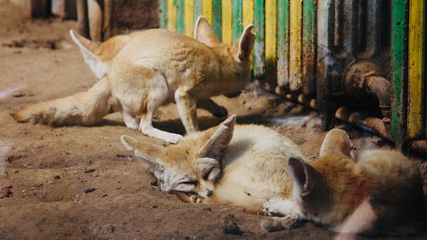 Fox, Fennec Fox, Fennek, Zoo, Cute, Sleeping