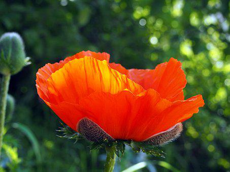 Poppy, Garden, Flower, Blossom, Bloom, Plant, Spring