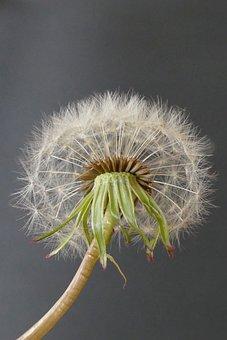 Dandelion, Seeds, Nature, Wind, Blow, Flying Seeds