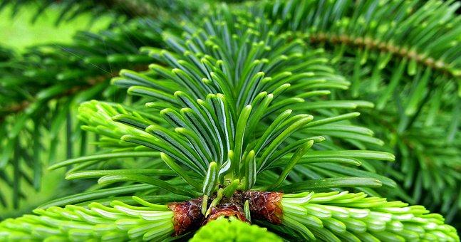 Fir Tree, Fir Tips, Shoots, Fresh, Bud, Spring