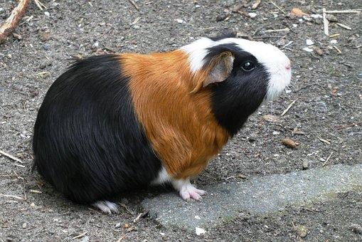 Guinea Pig, Coat, Head, Animal Park, Outdoor Life