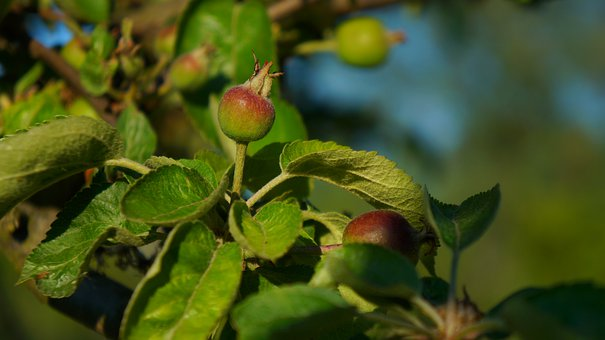 Nature, Plants, Young, Immature, Fruit, Apples, Sprig