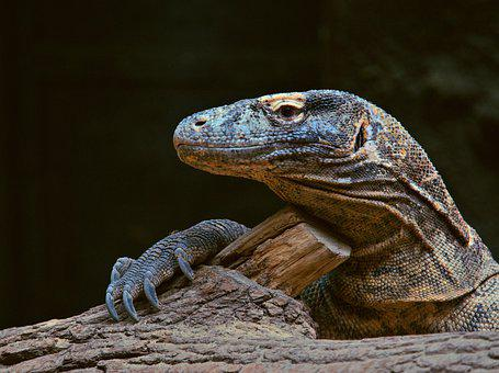 Animal, Reptile, Varan, Komodský, Lizard, Dragon