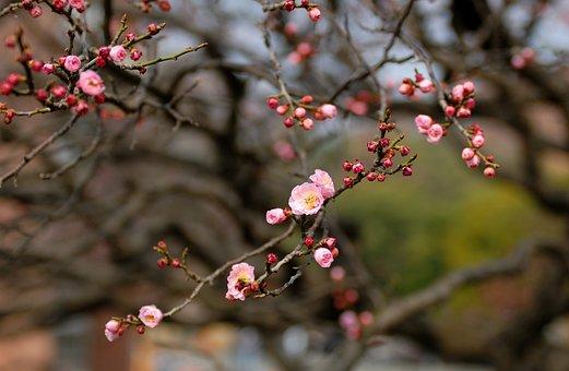 Red Plum, Korea, Flower, Wood, Plum, Spring