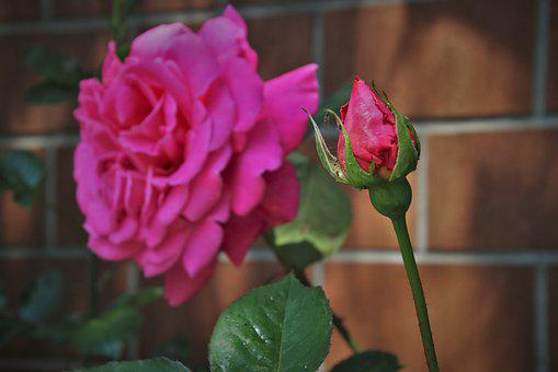Pink Rose, Petals, Garden, Lake Dusia, Brick