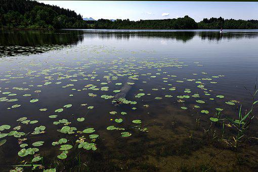 Lily Pad, Aquatic Plant, Water, Lake, Alpsee, Biotope