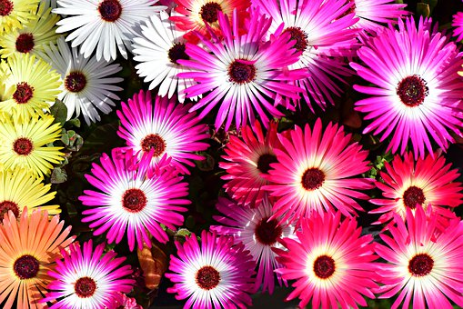 Livingstone Daisy, Flower, Plant, Petal