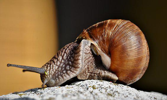 Snail, Shell, Mollusk, Probe, Mucus, Crawl, Slowly