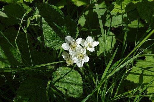 Flowers, White, Blackberry, Mulberry, Burr, Wild