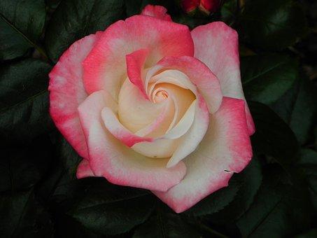 Rose, White, Wedding, Nature, Flower, Blossom, Bloom