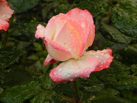 Rose, Flower, Blossom, Bloom, Nature, Nostalgia