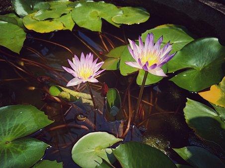 Lotus, Blossom, Nature, Plant, Flower, Background