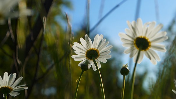 Nature, Plants, Flower, White, Daisy, Meadow, Spring