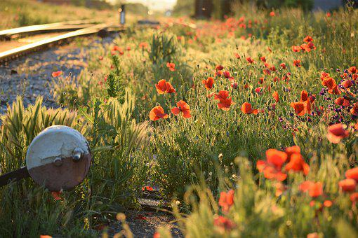 Red Poppys, Blooming, Near Railway, Evening, Sunset