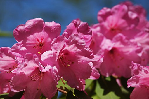 Rhododendron, Arboretum, Park, Garden, Nature, Flora
