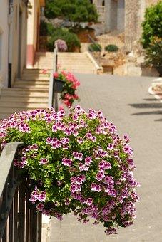 Geranium, Pelargonium, Geraniaceae, Pelagonia, Pink