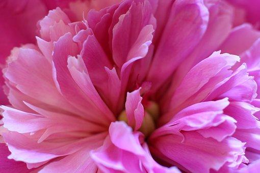 Peony, Peonies, Flowers, Leaves, Pink, Bloom, Flower