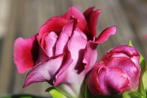 Gloxinia, Purple, Pink, Macro, Feeling, Bloom, Flower