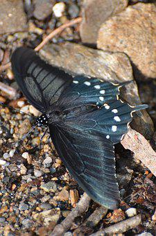 Butterfly, Pipevine Swallowtail Butterfly