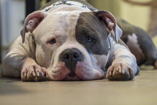 Dog, Pitbull, Bully, Animal, Pet, Puppy