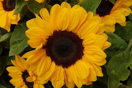 Sunflower, Flower, Yellow, Plant, Garden, Spring, Bloom