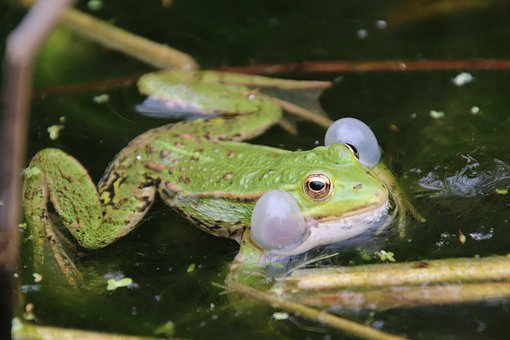 Frog, Gerardo, Tree Frog, Green, Pond, Water Lilies