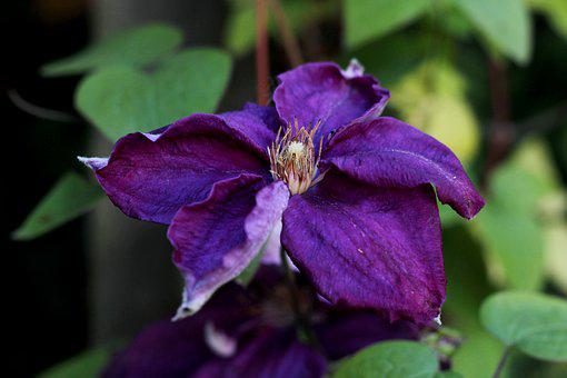 Clematis You Are So Friendly, Creeper, Flower, Purple
