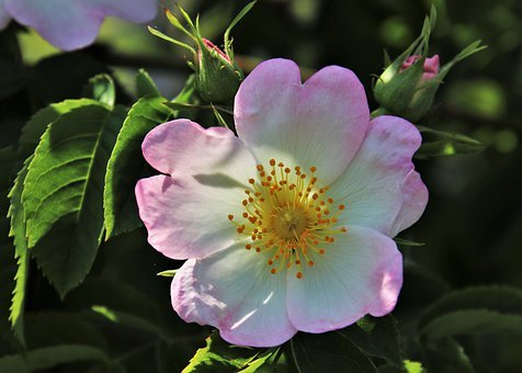 Wild Rose, Pink, Rose, The Smell Of, Bush, Roses