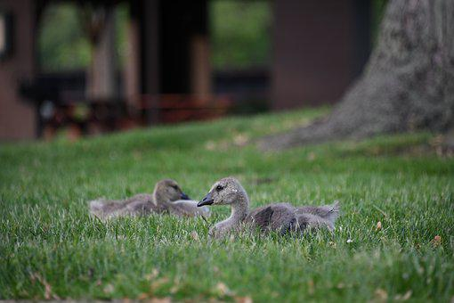 Gosling, Goose, Geese, Baby, Soft, Fluffy, Waterfowl
