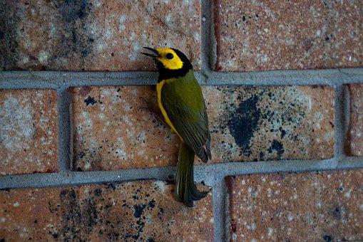 Bird, Warbler, Nature, Songbird, Wildlife, Branch