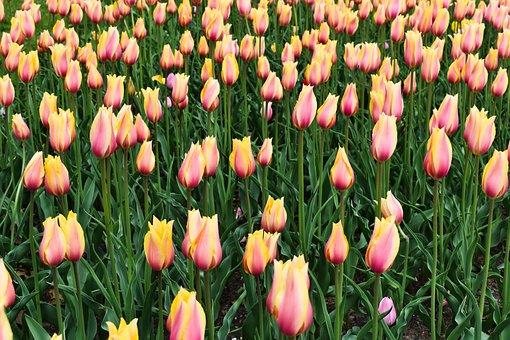 Tulips, Spring, Flowers, Tulip, Bloom, Garden, Pink