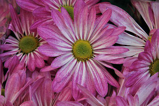 Pink, The Petals, Fresh, Daisy, Bouquet, Blooming