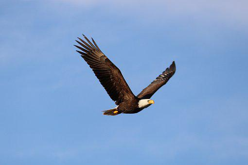 Eagle, Vancouver Island, Bird, West Coast, Canada