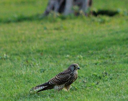 Kestrel, Watching, Flying, Raptor, Nature, Bird