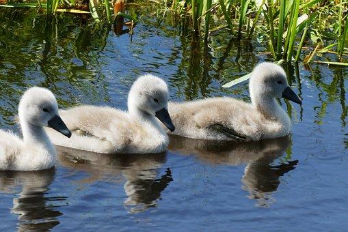 Swans, Chicks, Nature, Waterfowl, Animal World
