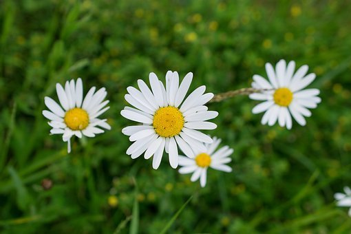 White Flower, Flowers, Wild Flower, Yellow