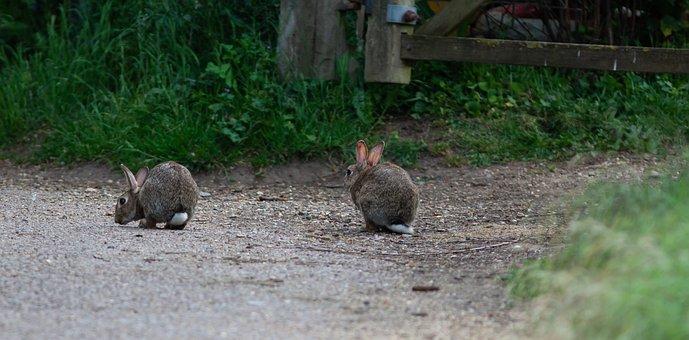 Rabbits, Wild, Rabbit, Bunny, Wildlife, Cute, Animal