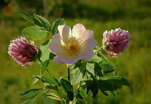 Wild Rose, Clover, Composition, Beauty, Nature