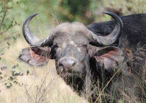 Buffalo, Big5, Safari, Wildlife, Nature, Dangerous