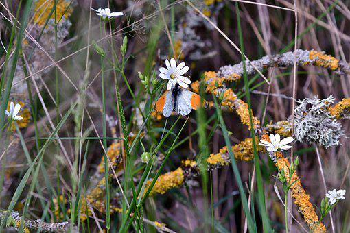 Butterfly, Oranjetipje, Nature, Bug, Wing