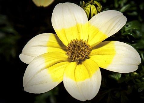 Biden's, Flower, Blossom, Bloom, Yellow, Composites
