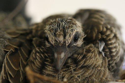 Baby Bird, Bird, Dove, Mourning Dove, Young
