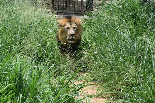 Bannerghatta Biological Park, Background, Lion, Animal