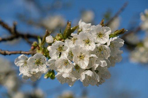 Blossom, Bloom, Apple Blossom, Nature, Spring