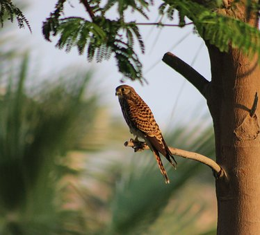 Kestrel, Hunting, Raptor, Nature, Bird, Predator