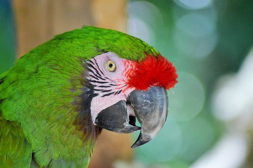 Green Macaw, Bird, Parrot, Ara, Green, Nature, Color