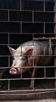 Pigs, Animal, Wildlife, Black, Dark, Village