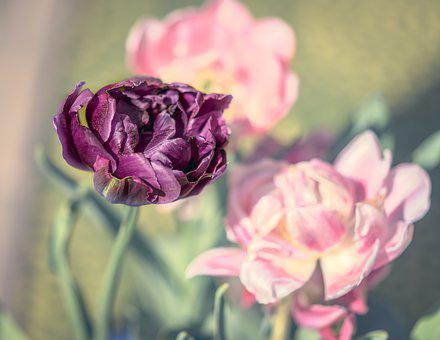 Tulips, Double, Bloom, Flower, Blossom, Spring, Pink
