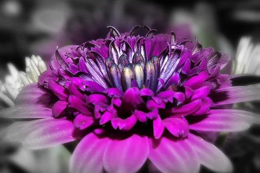 Gazanie, Flower, Blossom, Bloom, Filled, Purple